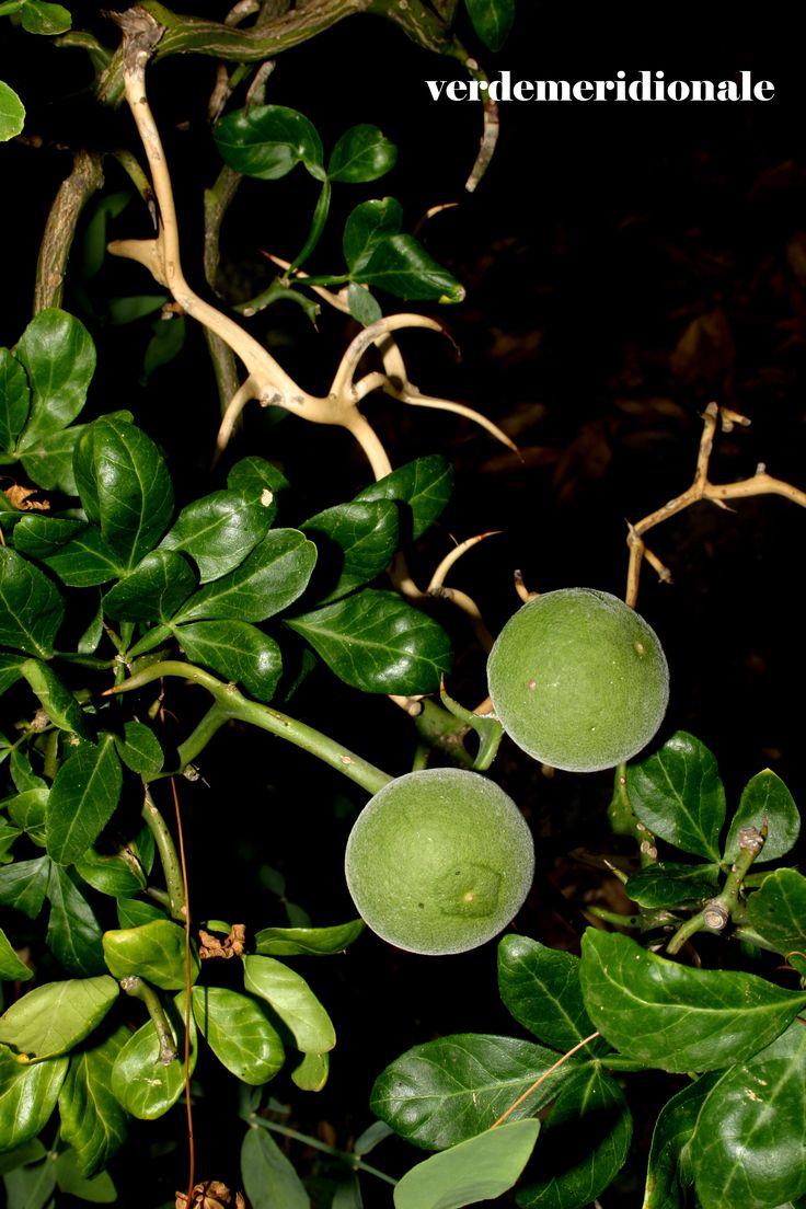 Poncirus trifoliata contorta