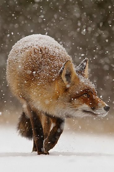 """Fox: """"Wow! That's quite a snow blizzard heading in this direction; I'd better get home to my 'Den' fast!"""" (By: Roeselien Raimond.)"""