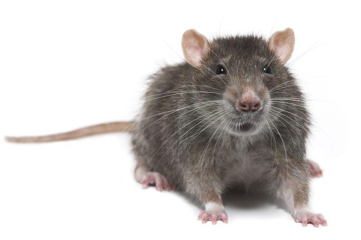 Rat Control NYC – Rat Control NJ – Rat Exterminator NYC https://pestcontrolnjnyc.com/rat-exterminator/ #PestControl #RatControl #Exterminator