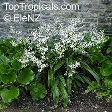 Image result for new zealand rock lily