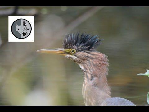 Green Heron hunting - Films Nature Web TV Subscribe :  https://www.youtube.com/user/Explorationnature Facebook :  https://www.facebook.com/pages/Dominique-Lalonde-Cinéaste-naturaliste-Wildlife-Filmmaker/175942475833403?sk=wall Twitter : https://twitter.com/explonature Web : http://www.dominiquelalonde.com/ Blog : http://dominiquelalondecom.blogspot.ca