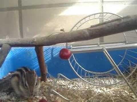 Chipmunk - Esquilo à caça das cerejas