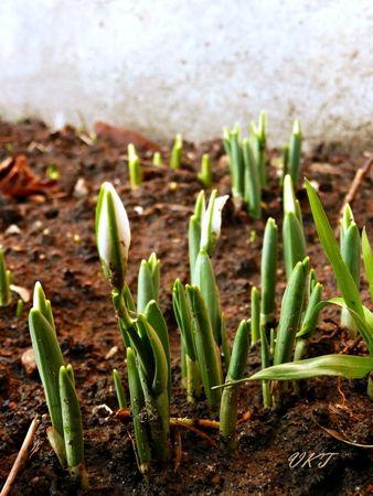 A+téli+kertnek+is+megvannak+a+maga+szépségei,+különösen,+ha+hótakaró+borítja,+és+fehérek+a+fák+és+a+bokrok+ágai.+A+tél+előcsalogatta+a+hóvirágot,+ésgyönyörködhetünk+a+vörösre+színeződött+kecskerágóban,+az+egész+télen+nyíló+hangafélékben,+a+most+is+virágzó+árvácskában,+a+trombitafolyondár+lilára…