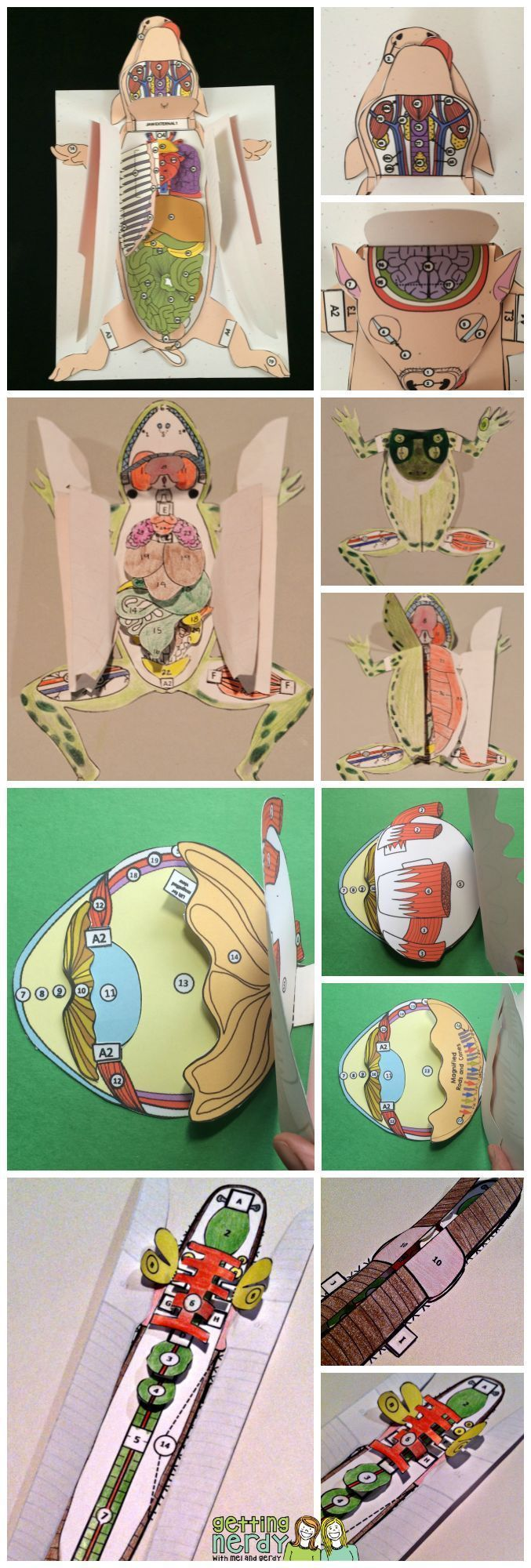 Dissection models for life science and biology - why they're perfect for your life science or biology classroom. Fetal pig, grass frog, cat, crawfish, sheep or cow eye, earthworm, and more! Read to find out how to make the most out of these 3-d paper models!