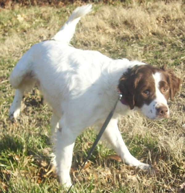 This is Dempsey, a Brittany currently being fostered in Missouri. What do folks think?: Baby