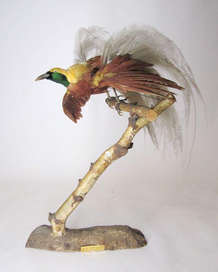 Een opgezet volwassen mannelijk exemplaar van Paradisaea minor Shaw, 1809 (Kleine paradijsvogel) in prachtkleed staand op een tak schuin geplaatst op een voetstuk.