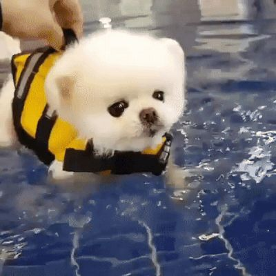 Fluffy canine learns to swim within the pool