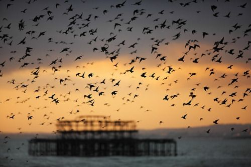 Starling Murmuration over West Pier, Brighton  photo/credits: https://www.flickr.com/photos/alanmackenzie/   please leave the credits