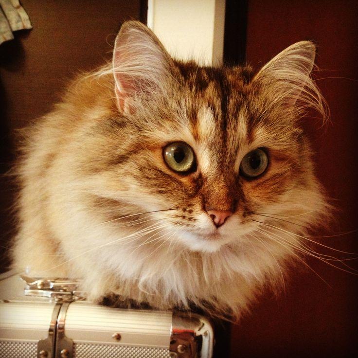 Chanel #chanel #siberiancat #cat