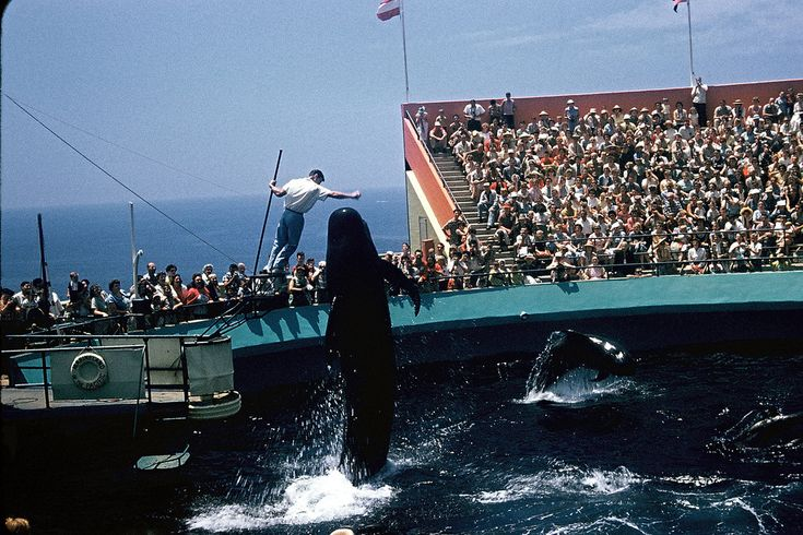 Whale jumps at Marineland, Los Angeles, CA 1960 • by Walter Reed