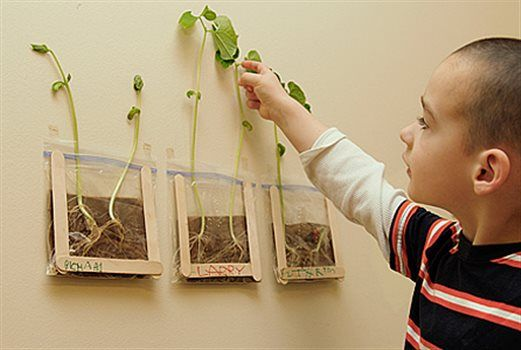 What's the best way to understand how a seed turns into a plant? Watch it happen—right in your classroom!