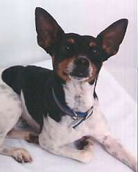 Rat Terrier Information and Pictures, Rat Terriers, Feists