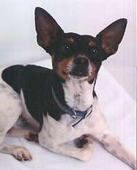 Rat Terrier Information and Pictures, Rat Terriers, Feists