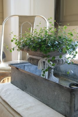 "Urns& Angel Vine...softness & vintage appeal...indoors in cooler weather...adds ""life"" to a space....a zinc planter ....holding pots or forced bulbs...magnifies the effect...."