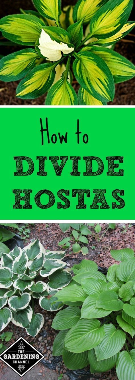 How to Divide Hostas. These perennials are easy to grow and share with fellow gardeners. Learn how to share your hosta plants.