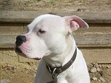 This American bulldog is of the Scott type - note the long muzzle