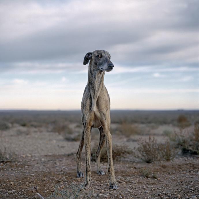 Daniel Naude, feral Africanis dogs