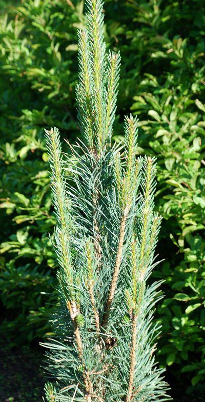 Klehm's Song Sparrow Farm and Nursery--Woody Plants--Pinus sylvestris 'Silver Column'