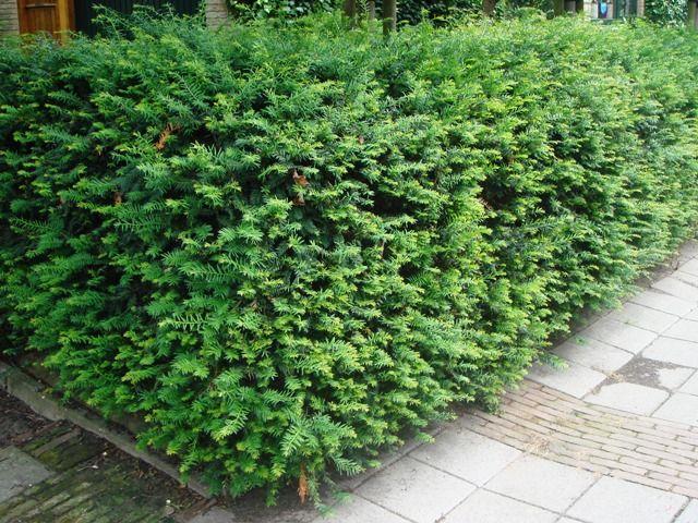 Taxus baccata, wintergroen, giftige bessen, in juni/aug snoeien, verdraagt goed snoeien, mag niet te nat staan