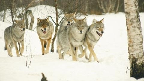 hardware for purses Norwegian government  Stop slaughtering wolves