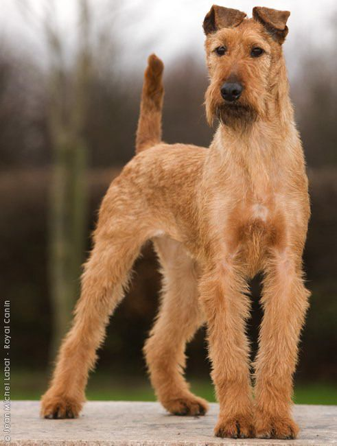 Irish Terriers are wonderfully loyal, good tempered and affectionate with people. But these game dogs are able to hold their own with other canines and they will fight like a lion if attacked.