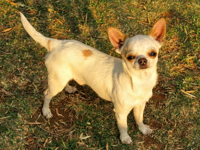 100 best Short Hair Chihuahua Dogs images on Pinterest ...