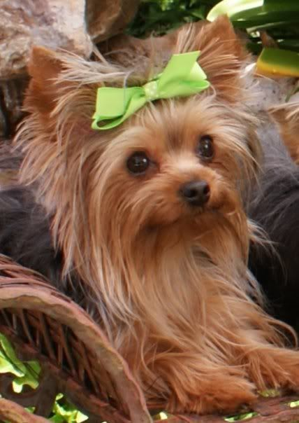 Cute My Future Yorkie Will Have Lime Green Hair Bows