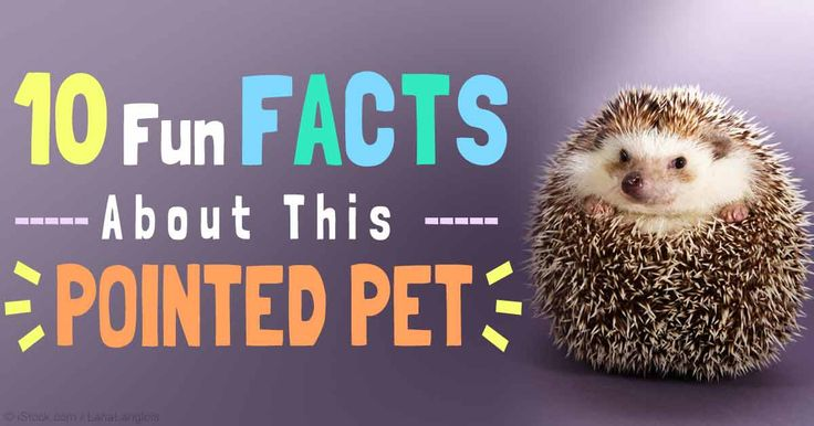 It's important to learn all you can about an exotic pet like a hedgehog, including its nutritional and behavioral needs, before adopting one. http://healthypets.mercola.com/sites/healthypets/archive/2015/05/01/pet-hedgehog.aspx