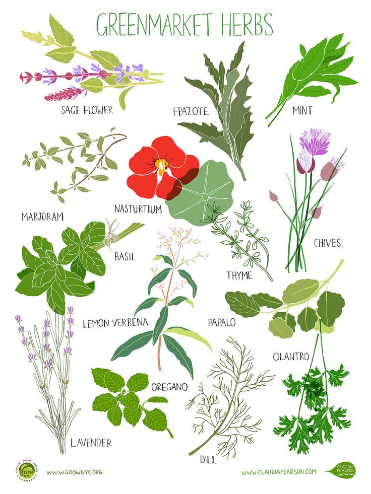 for Sale on Etsy: Herb Poster - Hurricane Irene Fundraiser. $25.00. Features sage, marjoram, basil, lavender, dill, chives, mint and more!