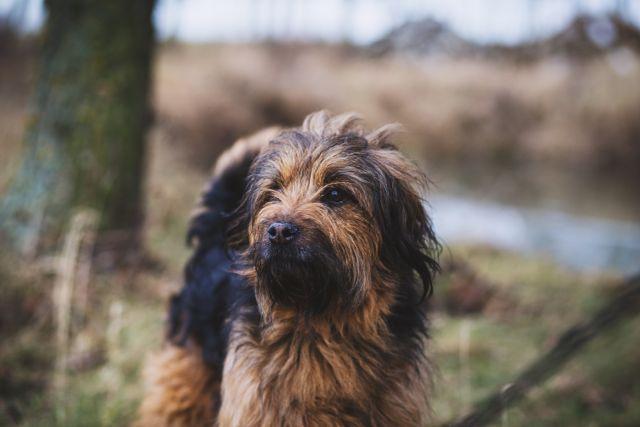 Wieviel Bewegung braucht dein Hund? Eine gute Frage, die häufig diskutiert wird und die Meinungen weit auseinander gehen.: Es gibt auf die Frage keine einheitliche Antwort und keine goldenen Regel, wie viel dein Hund sich bewegen darf. Denn jeder Hund ist anders. Aber es gibt wichtige Anhaltspunkte, mit denen du einschätzen kannst, ob die tägliche Bewegung deines Hundes optimal ist. …