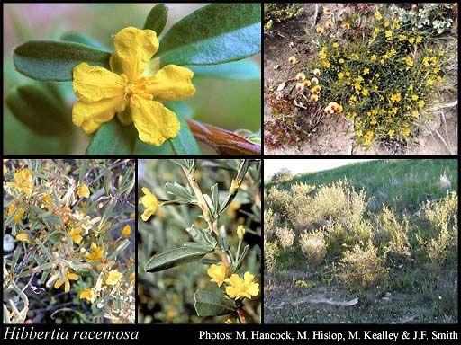 Hibbertia racemosa (Stalked guinea flower/coastal buttercup) Shrub, flowers winter and spring, full sun/part shade Responds well to regular pruning