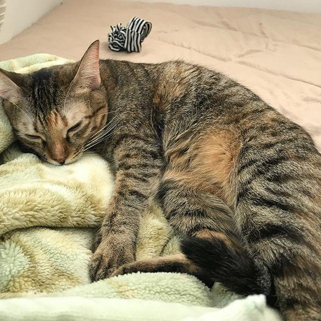 寝てる時は幼い顔😍❤️ #相変わらずの童顔 #これでも1歳半 #ねこ #子猫 #猫 #ネコ #保護猫 #キジトラ #ilovecats #ふわもこ部 #ねこ部 #catstagram #にゃんすたぐらむ #猫のいる暮らし #愛猫 #猫ライフ #にゃるそっく #ニャルソック #ねこ #子猫 #猫 #ネコ #保護猫 #キジトラ #ilovecats #ふわもこ部 #ねこ部 #catstagram #にゃんすたぐらむ #猫のいる暮らし #愛猫 #猫ライフ