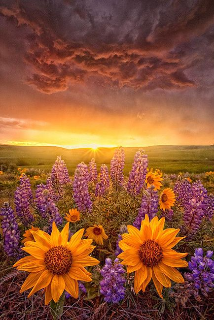 All over Montana in June this combo blooms in the wild:  Lupine and Arrowleaf Balsamroot.