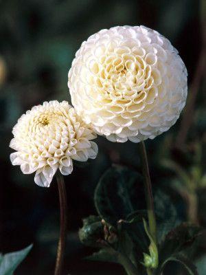 Small World Dahlia Bears White Pompom Blooms