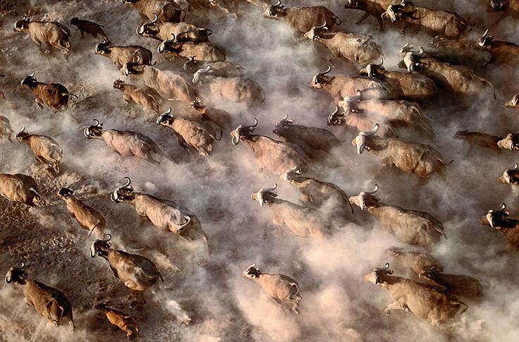 Amboseli National Park, Kenia: Kaffernbüffel durchqueren ein ausgetrocknetes Seebett (Foto von: Art Wolfe/Animal Art)