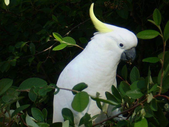 Australian wildlife - Cockatoo