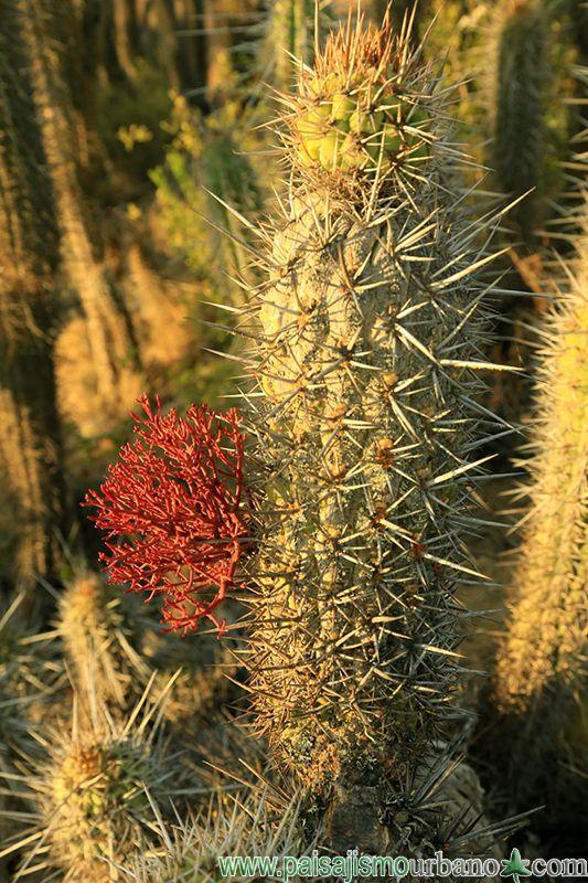 tristeryx aphyllus parasitando Echinopsis chiloensis, ambas endemicas de Chile — en Chile, La Serena.