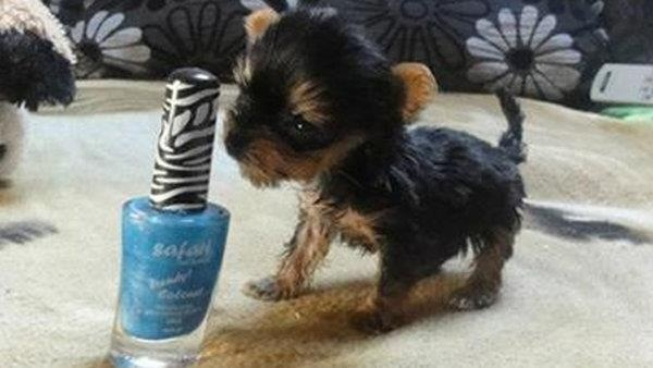 I Want This Little Yorkie Tiny Dogs Tiny Puppies Small Dogs