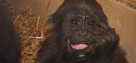 Рецепт торта на день рождения гориллы от зоопарка Цинциннати - http://zoovestnik.ru/2014/03/16865/
