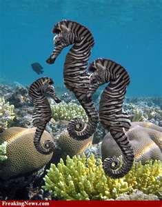 Zebra seahorses ✿ ocean life