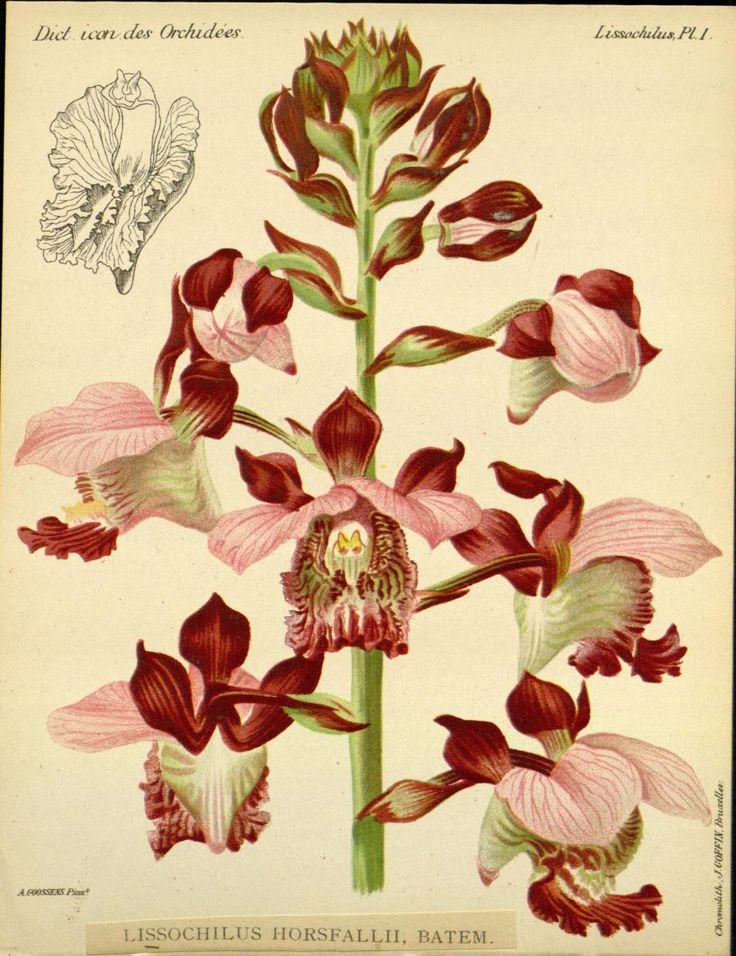 253 best images about art botanique on pinterest public illustrators and libraries - Dessin d orchidee ...