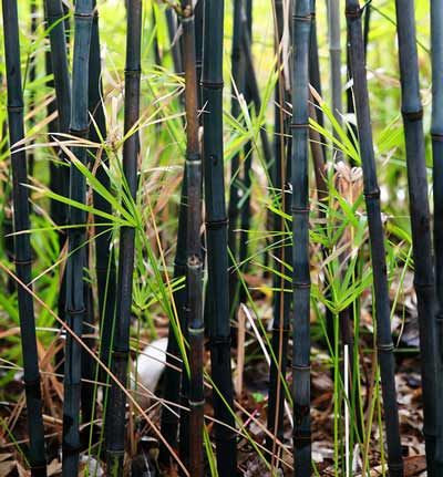 quick growing black bamboo loves containers. perfect for the upper deck!