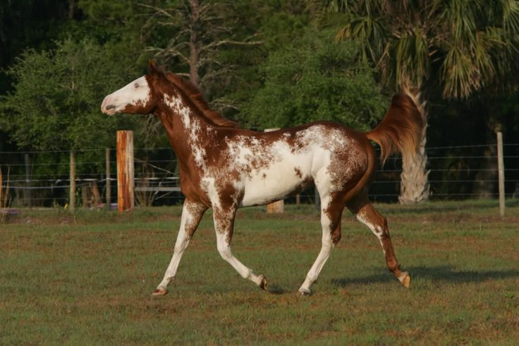 Overo Paint Horses | For sale>>>gorgeous overo paint horse>>>