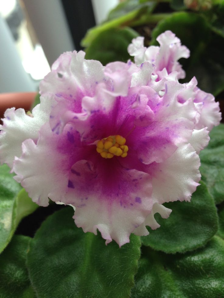 Bold party girl- African violet