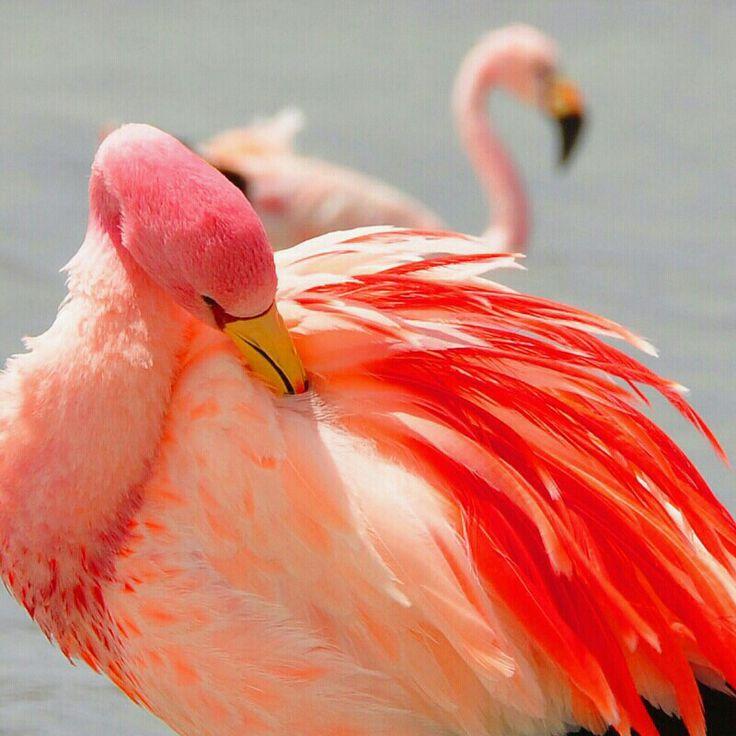 Pink flamingos in Salar de Uyuni, Bolivia