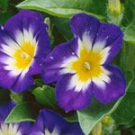 Morning Glory: Morning Glories, Bush Morning, Bloom, Flowers, Mornings, Garden, September Flower