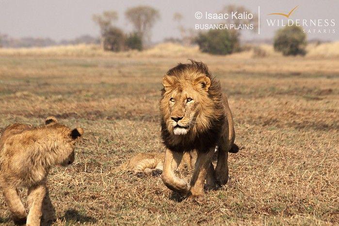 Musanza male on a mission #Kafue #safari
