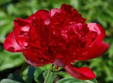 Picture of peony flower. As this peony flower photo shows, some of these perennials are burgundy. - David Beaulieu