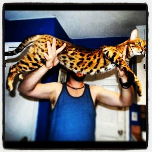 african serval + domestic = my freakshow f2 savannah cat