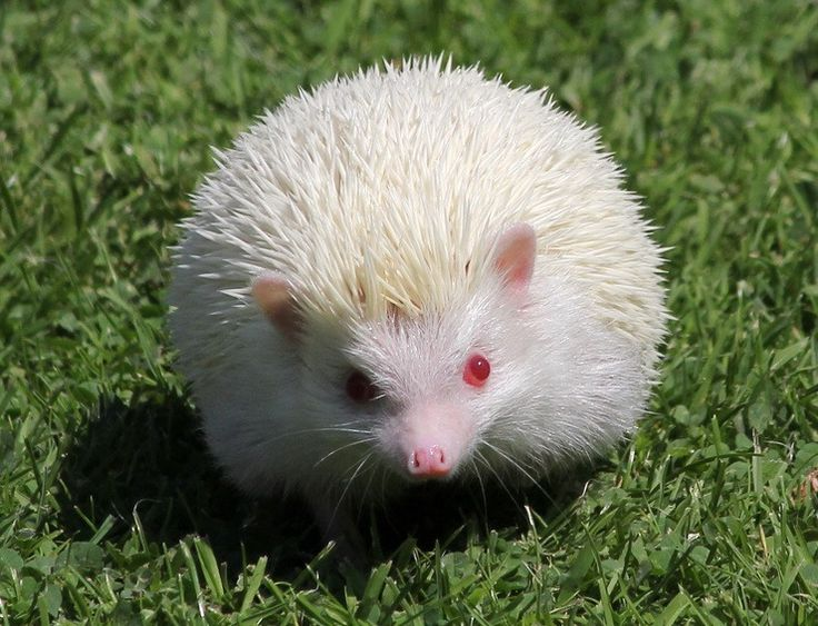 Albino_Hedgehog-1